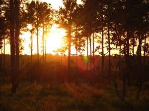 Beautiful pine savannah between Rus Rus & Suhi